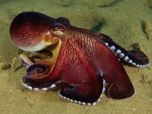 hobotnica2